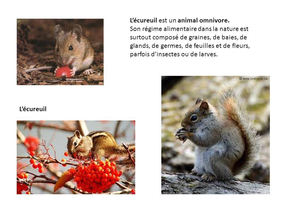 L'écureuil est un animal omnivore. Son régime alimentaire dans la nature est surtout composé de graines, de baies, de glands, de germes, de feuilles e