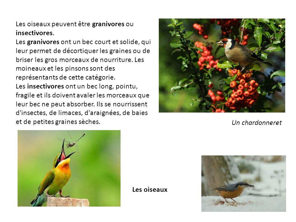 Les oiseaux peuvent être granivores ou insectivores. Les granivores ont un bec court et solide, qui leur permet de décortiquer les graines ou de brise