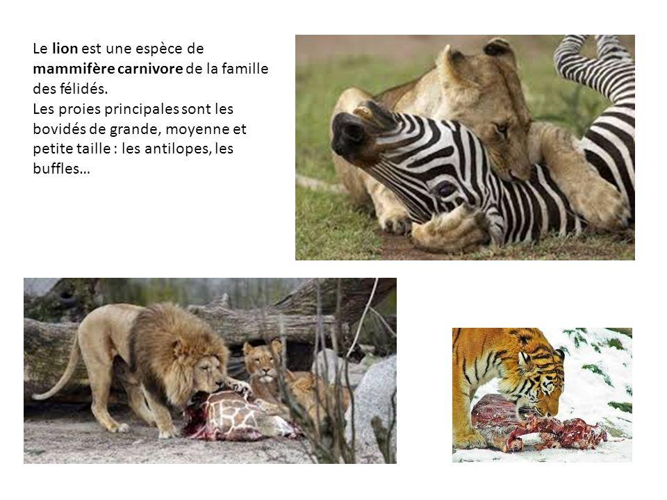 Le lion est une espèce de mammifère carnivore de la famille des félidés. Les proies principales sont les bovidés de grande, moyenne et petite taille :