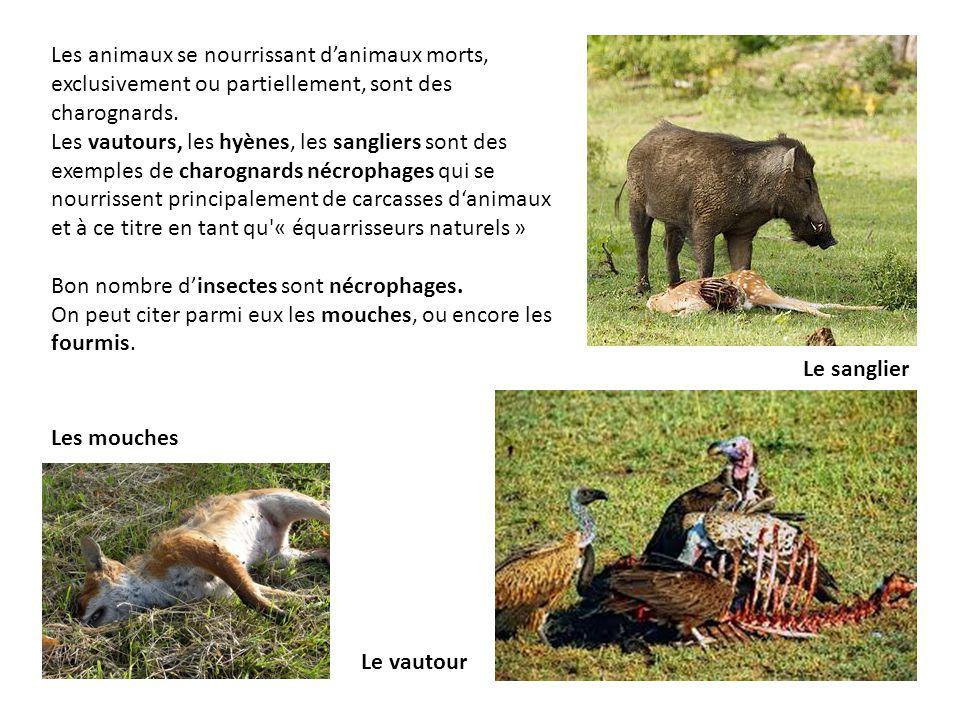 Les animaux se nourrissant d'animaux morts, exclusivement ou partiellement, sont des charognards. Les vautours, les hyènes, les sangliers sont des exe