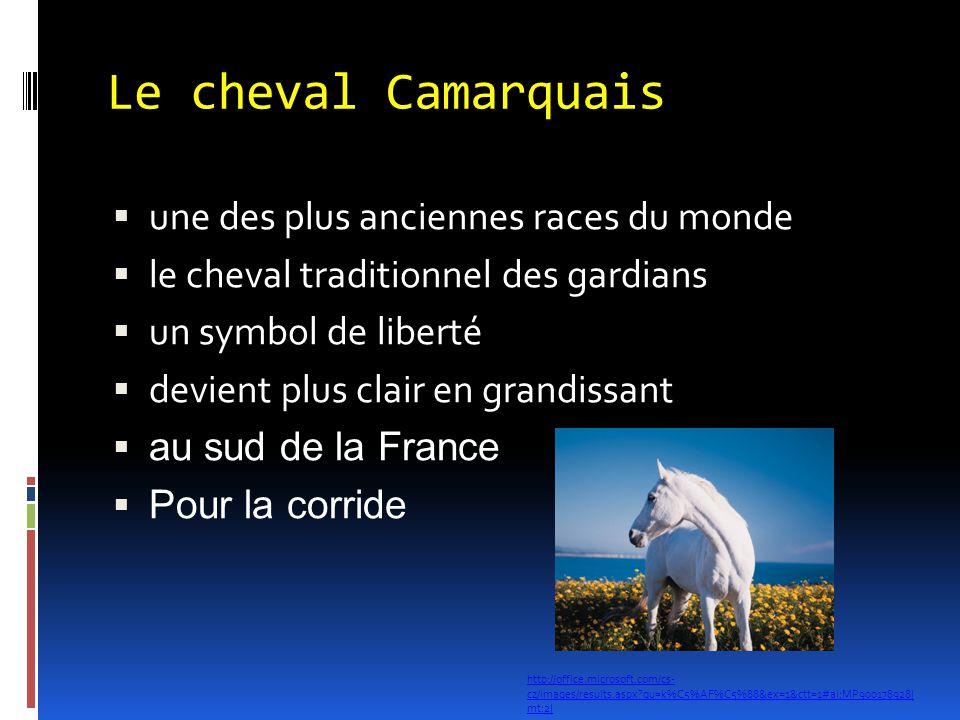Le cheval Camarquais  une des plus anciennes races du monde  le cheval traditionnel des gardians  un symbol de liberté  devient plus clair en gran