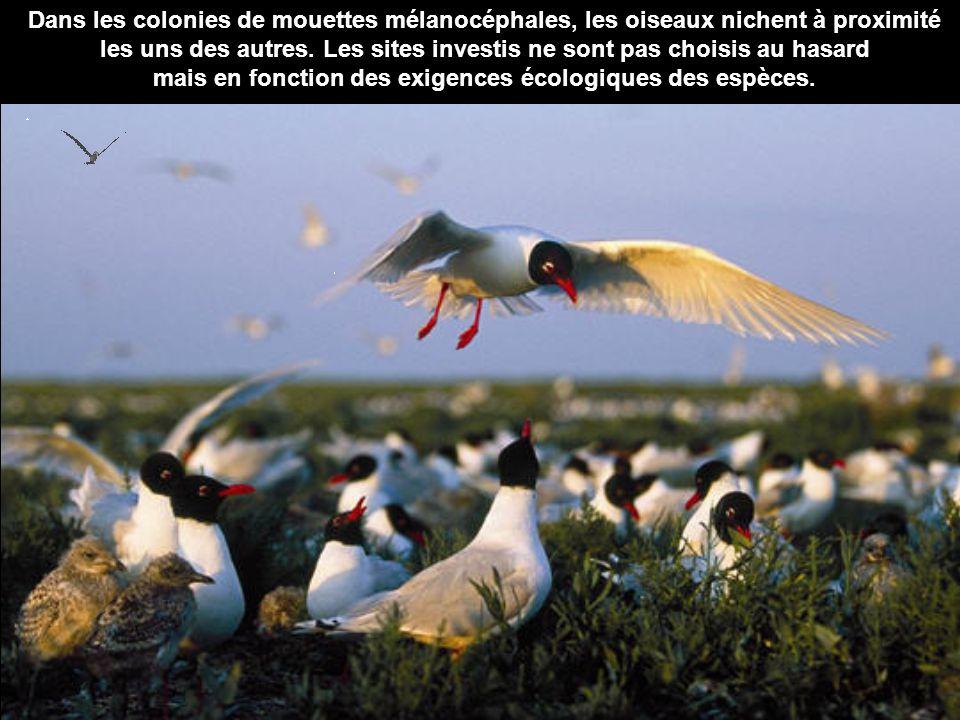 Dans les colonies de mouettes mélanocéphales, les oiseaux nichent à proximité les uns des autres. Les sites investis ne sont pas choisis au hasard mai