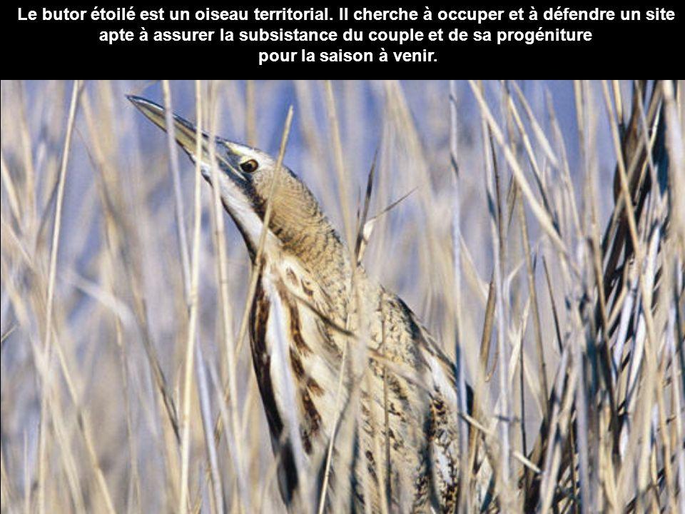 Le butor étoilé est un oiseau territorial. Il cherche à occuper et à défendre un site apte à assurer la subsistance du couple et de sa progéniture pou
