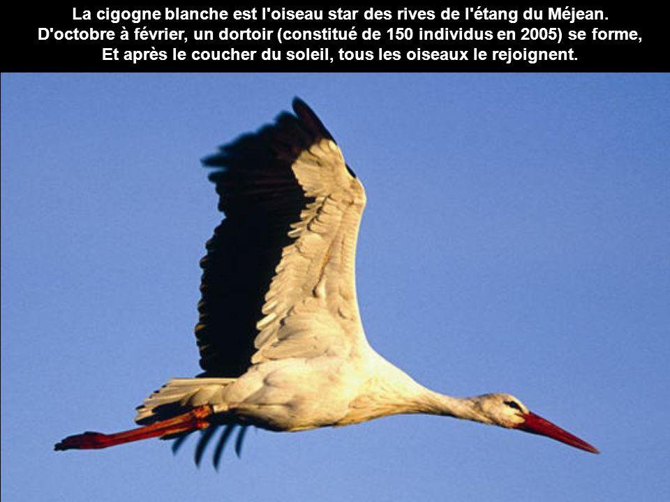 La cigogne blanche est l'oiseau star des rives de l'étang du Méjean. D'octobre à février, un dortoir (constitué de 150 individus en 2005) se forme, Et