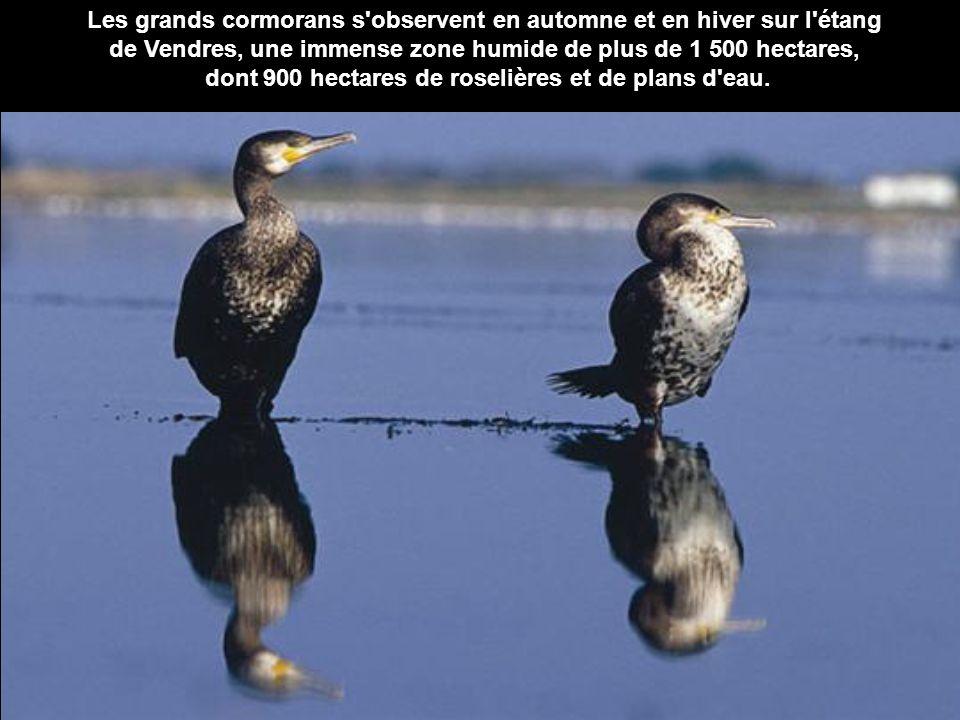 Les grands cormorans s'observent en automne et en hiver sur l'étang de Vendres, une immense zone humide de plus de 1 500 hectares, dont 900 hectares d
