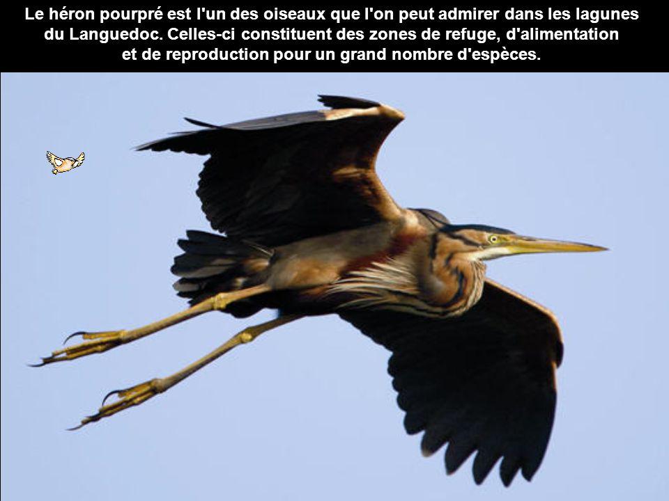 Le héron pourpré est l'un des oiseaux que l'on peut admirer dans les lagunes du Languedoc. Celles-ci constituent des zones de refuge, d'alimentation e