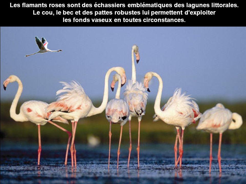 Les flamants roses sont des échassiers emblématiques des lagunes littorales. Le cou, le bec et des pattes robustes lui permettent d'exploiter les fond