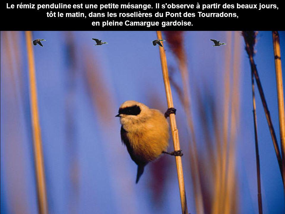 Le rémiz penduline est une petite mésange. Il s'observe à partir des beaux jours, tôt le matin, dans les roselières du Pont des Tourradons, en pleine