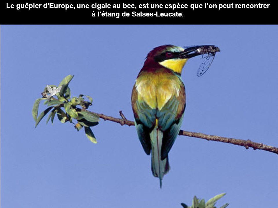 Le guêpier d'Europe, une cigale au bec, est une espèce que l'on peut rencontrer à l'étang de Salses-Leucate.