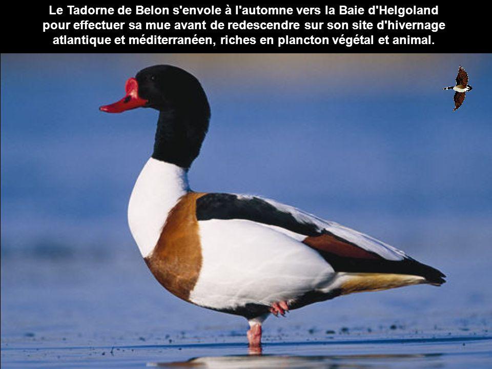 Le Tadorne de Belon s'envole à l'automne vers la Baie d'Helgoland pour effectuer sa mue avant de redescendre sur son site d'hivernage atlantique et mé