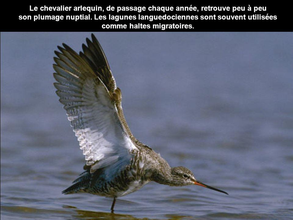 Le chevalier arlequin, de passage chaque année, retrouve peu à peu son plumage nuptial. Les lagunes languedociennes sont souvent utilisées comme halte