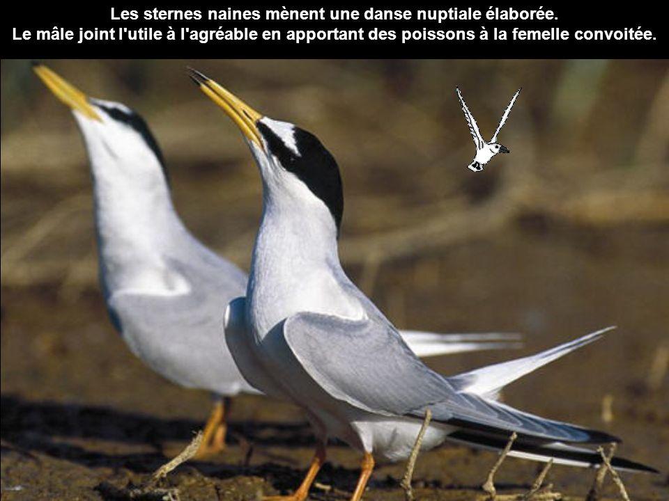 Les sternes naines mènent une danse nuptiale élaborée. Le mâle joint l'utile à l'agréable en apportant des poissons à la femelle convoitée.