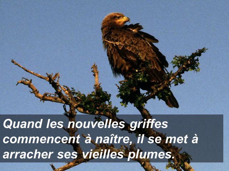Une fois son bec arraché, l'aigle attend que naisse un nouveau bec avec lequel il va, ensuite, arracher ses vieilles griffes.