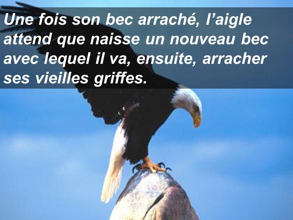 Aussitôt trouvé cet endroit, l'aigle frappe la paroi avec son bec, jusqu'à ce qu'il se l'arrache. Aussitôt trouvé cet endroit, l'aigle frappe la paroi