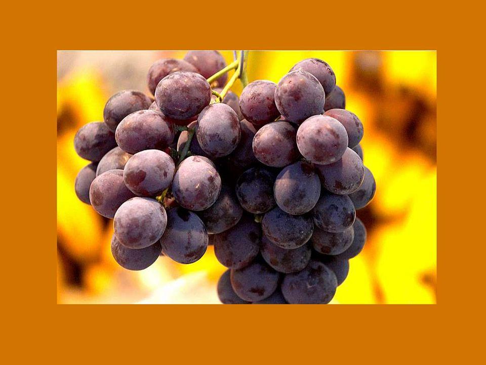 Dieu n'a pas voulu que le noble vin se perde ; C'est pourquoi il ne nous donne pas que la vigne, mais également la noble soif. Winzerspruch de Dorlish