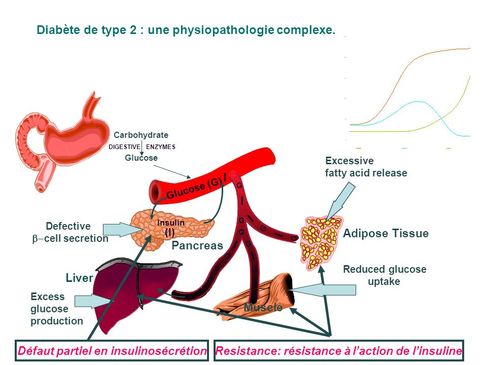 Diabète de type 2 : une physiopathologie complexe. Glucose (G) Carbohydrate Glucose DIGESTIVEENZYMES Insulin (I) I I I I I I I I G G G G G G G G I G G