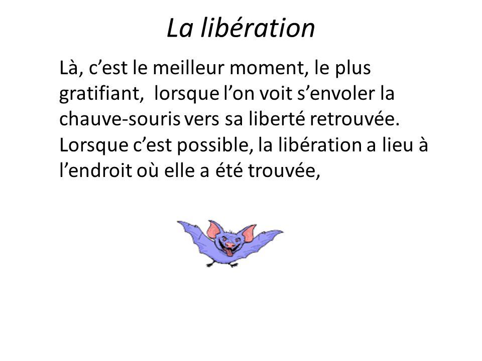 La libération Là, c'est le meilleur moment, le plus gratifiant, lorsque l'on voit s'envoler la chauve-souris vers sa liberté retrouvée. Lorsque c'est