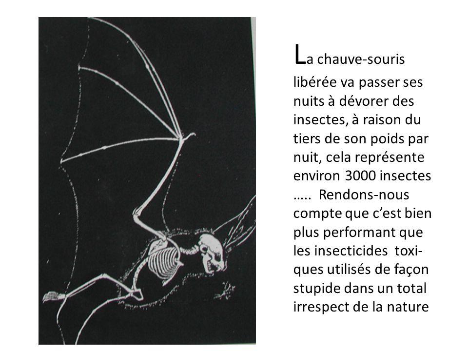 L a chauve-souris libérée va passer ses nuits à dévorer des insectes, à raison du tiers de son poids par nuit, cela représente environ 3000 insectes …