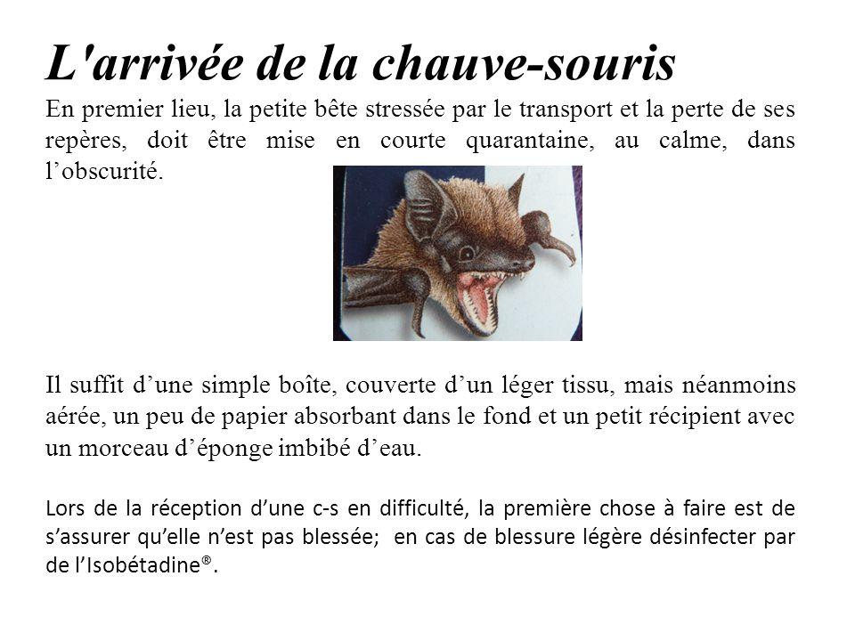 L'arrivée de la chauve-souris En premier lieu, la petite bête stressée par le transport et la perte de ses repères, doit être mise en courte quarantai