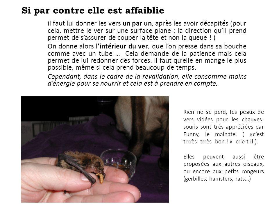 Dans le pire des cas … … la chauve-souris refuse de manger et le pronostic est alors pessimiste.