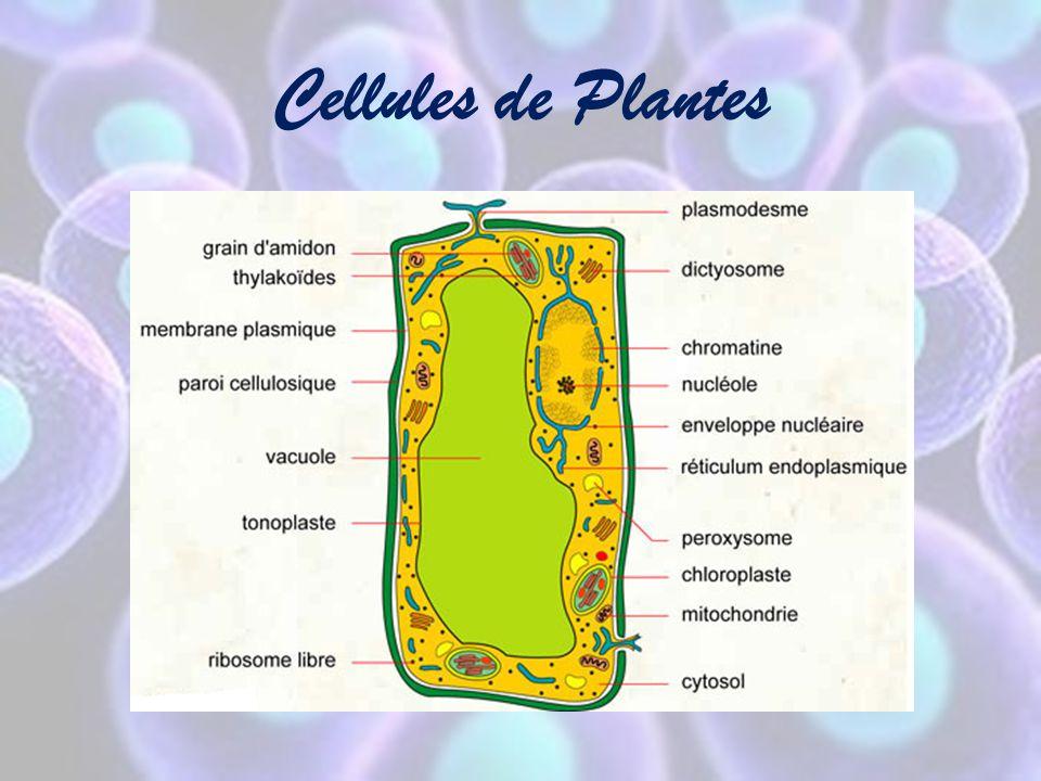 Les Organites des Cellules Voir feuille « Structure de la cellule »