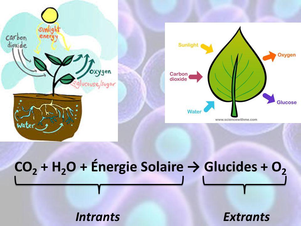 1)Gaz carbonique (CO 2 ): – vient de l'air – entre par les feuilles 2) L'eau (H 2 O): – vient du sol – entre par les racines 3) L'énergie solaire: – entre par les feuilles – absorbé par les chloroplastes Les intrants: les substances qui entrent dans la cellule et qui sont indispensables à ses activités.