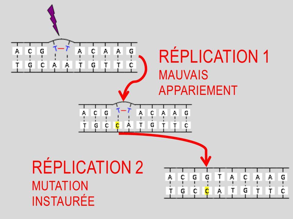 Lors de la réplication, si l'ADNpolymérase arrive à franchir les dimères de thymine cela entraînera des erreurs d'appariements.