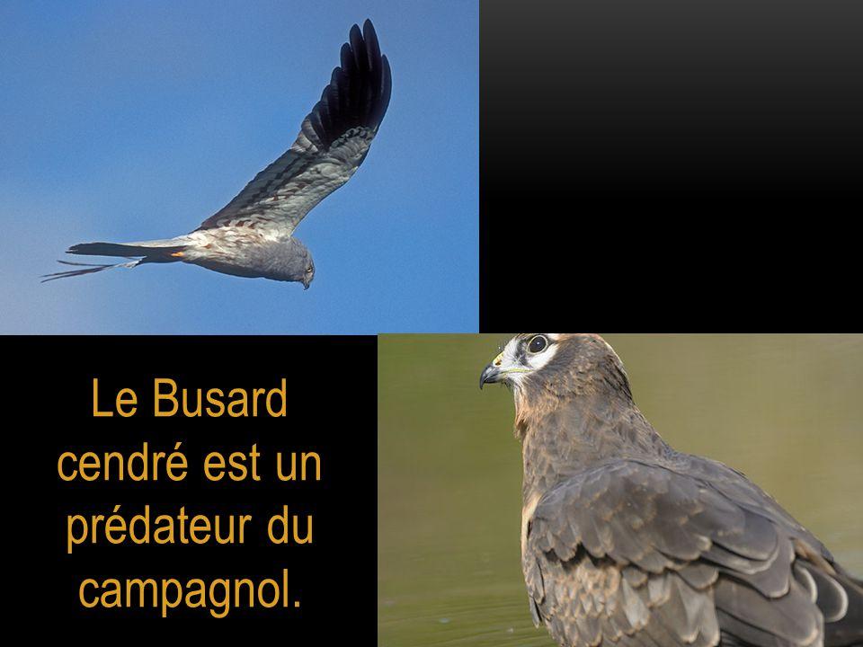 Le Busard cendré est un prédateur du campagnol.