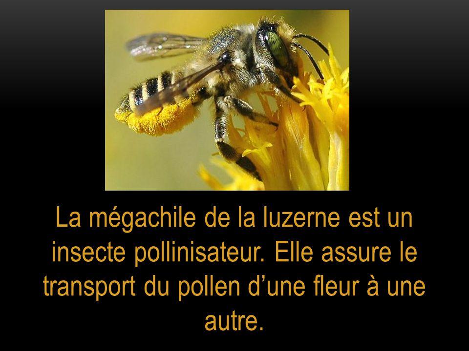 La mégachile de la luzerne est un insecte pollinisateur. Elle assure le transport du pollen d'une fleur à une autre.