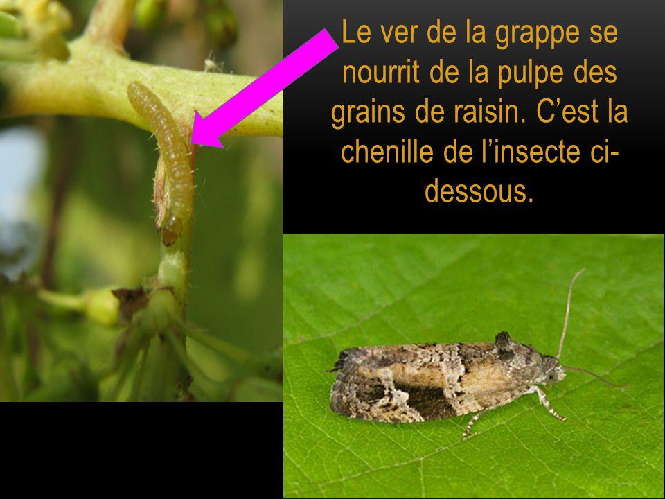 Le ver de la grappe se nourrit de la pulpe des grains de raisin. C'est la chenille de l'insecte ci- dessous.