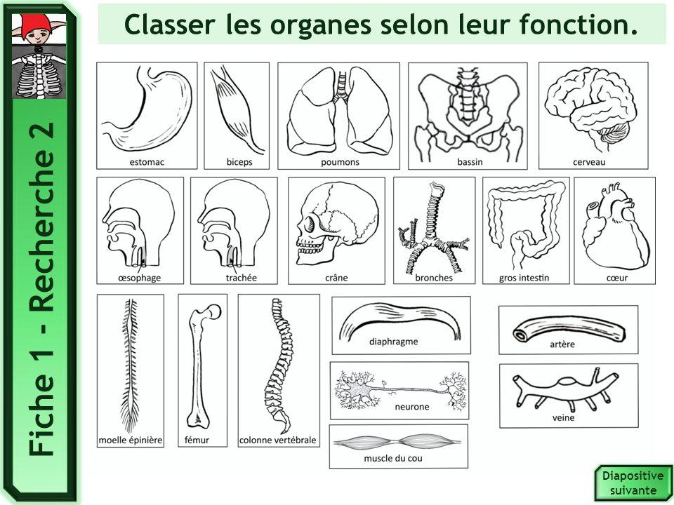 Classer les organes selon leur fonction.