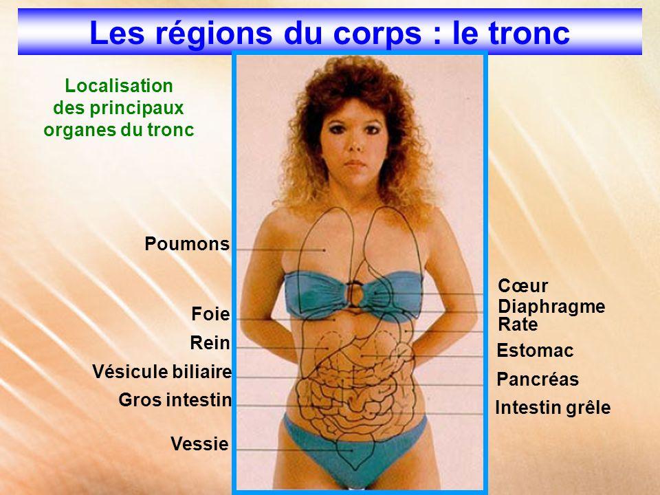 Les régions du corps : le tronc Localisation des principaux organes du tronc Poumons Foie Rein Gros intestin Vésicule biliaire Vessie Intestin grêle P