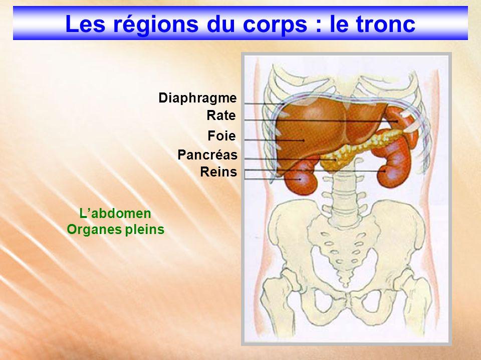 L'abdomen Organes pleins Foie Reins Pancréas Rate Diaphragme Les régions du corps : le tronc