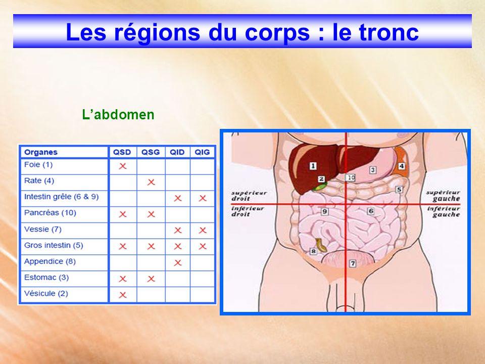 Les régions du corps : le tronc L'abdomen