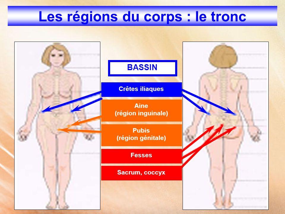 Les régions du corps : le tronc BASSIN Crêtes iliaques Aine (région inguinale) Pubis (région génitale) Fesses Sacrum, coccyx