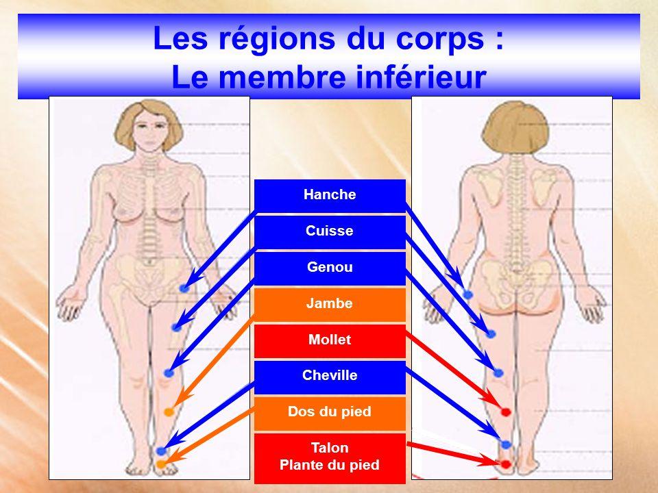 Les régions du corps : Le membre inférieur Hanche Cuisse Genou Jambe Dos du pied Mollet Cheville Talon Plante du pied