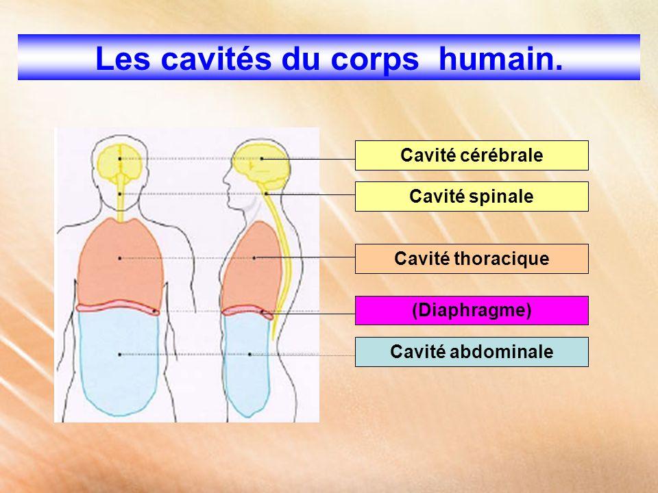 Les cavités du corps humain. Cavité cérébrale Cavité spinale Cavité thoracique (Diaphragme) Cavité abdominale