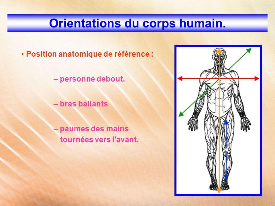 Orientations du corps humain. Position anatomique de référence : – personne debout. – bras ballants – paumes des mains tournées vers l'avant.