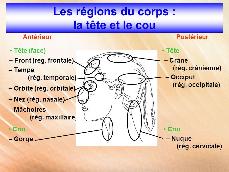 Les régions du corps : la tête et le cou AntérieurPostérieur Tête (face) – Front (rég. frontale) – Tempe (rég. temporale) – Orbite (rég. orbitale) – N