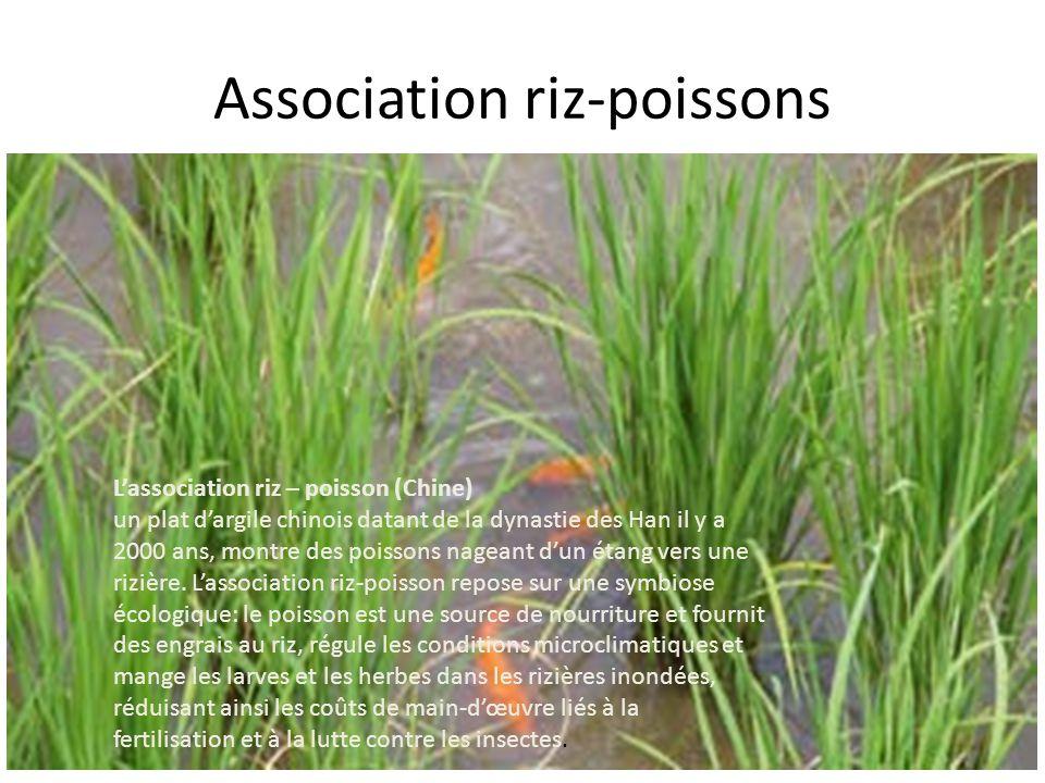 Association riz-poissons L'association riz – poisson (Chine) un plat d'argile chinois datant de la dynastie des Han il y a 2000 ans, montre des poisso