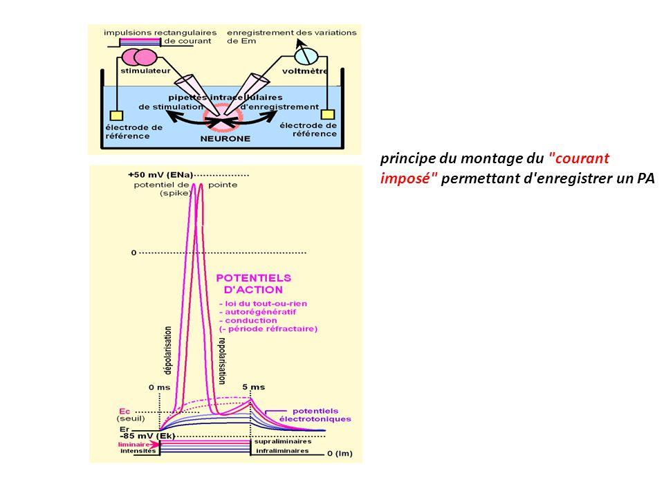 principe du montage du courant imposé permettant d enregistrer un PA