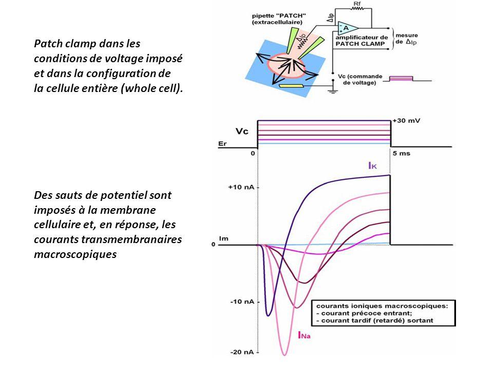 Patch clamp dans les conditions de voltage imposé et dans la configuration de la cellule entière (whole cell).