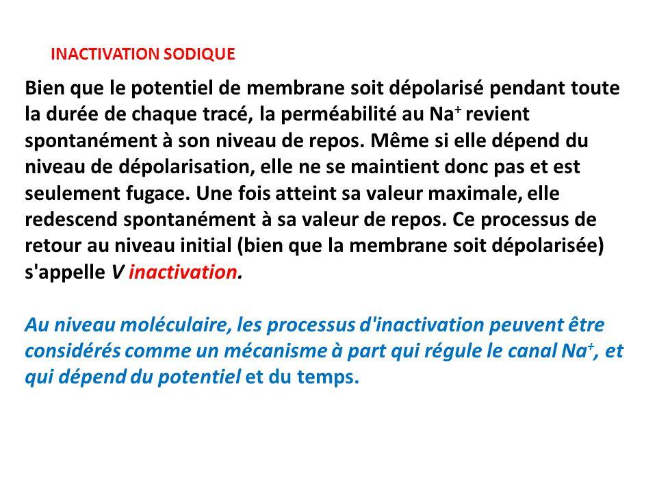 INACTIVATION SODIQUE Bien que le potentiel de membrane soit dépolarisé pendant toute la durée de chaque tracé, la perméabilité au Na + revient spontanément à son niveau de repos.