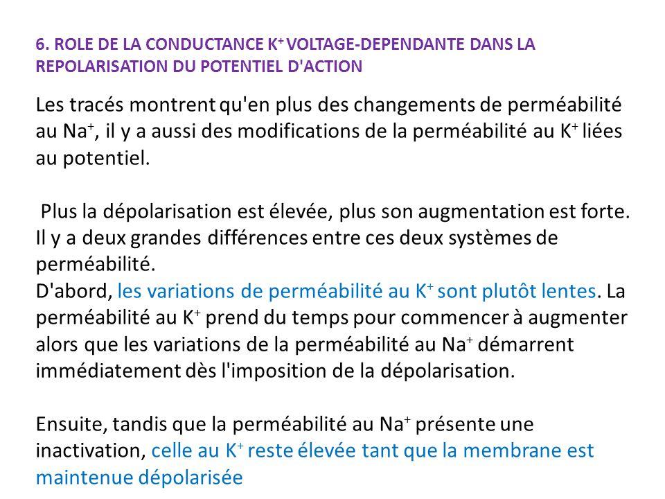 6. ROLE DE LA CONDUCTANCE K + VOLTAGE-DEPENDANTE DANS LA REPOLARISATION DU POTENTIEL D'ACTION Les tracés montrent qu'en plus des changements de perméa