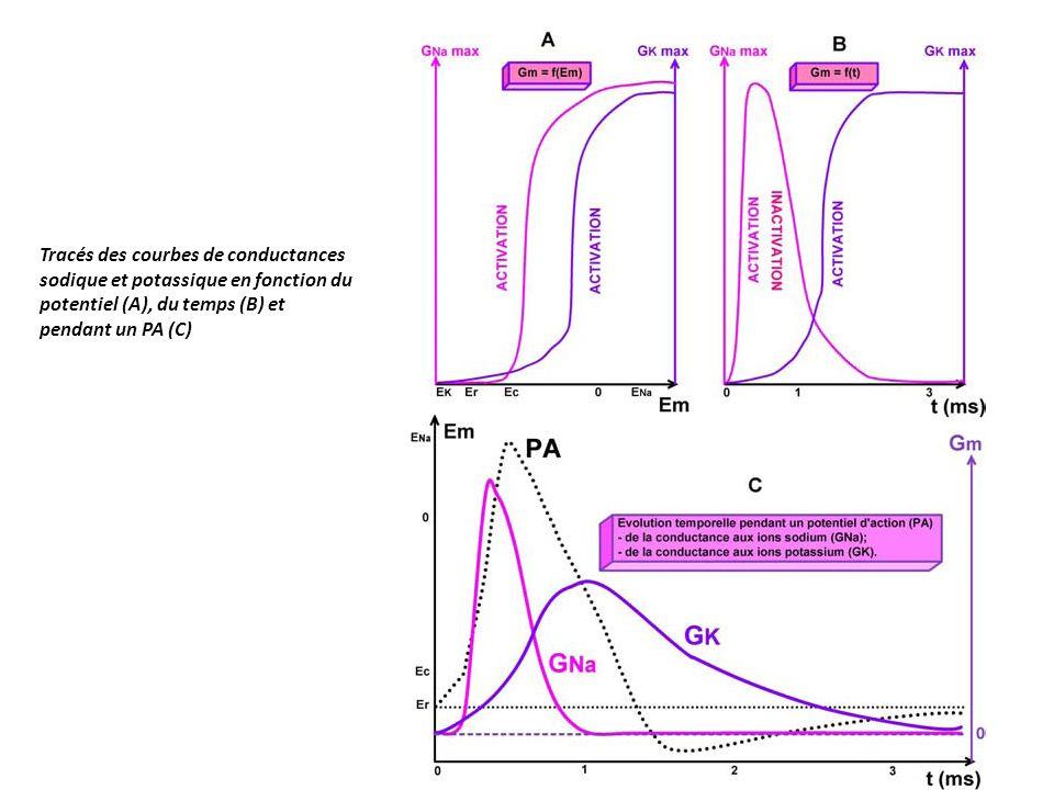 Tracés des courbes de conductances sodique et potassique en fonction du potentiel (A), du temps (B) et pendant un PA (C)