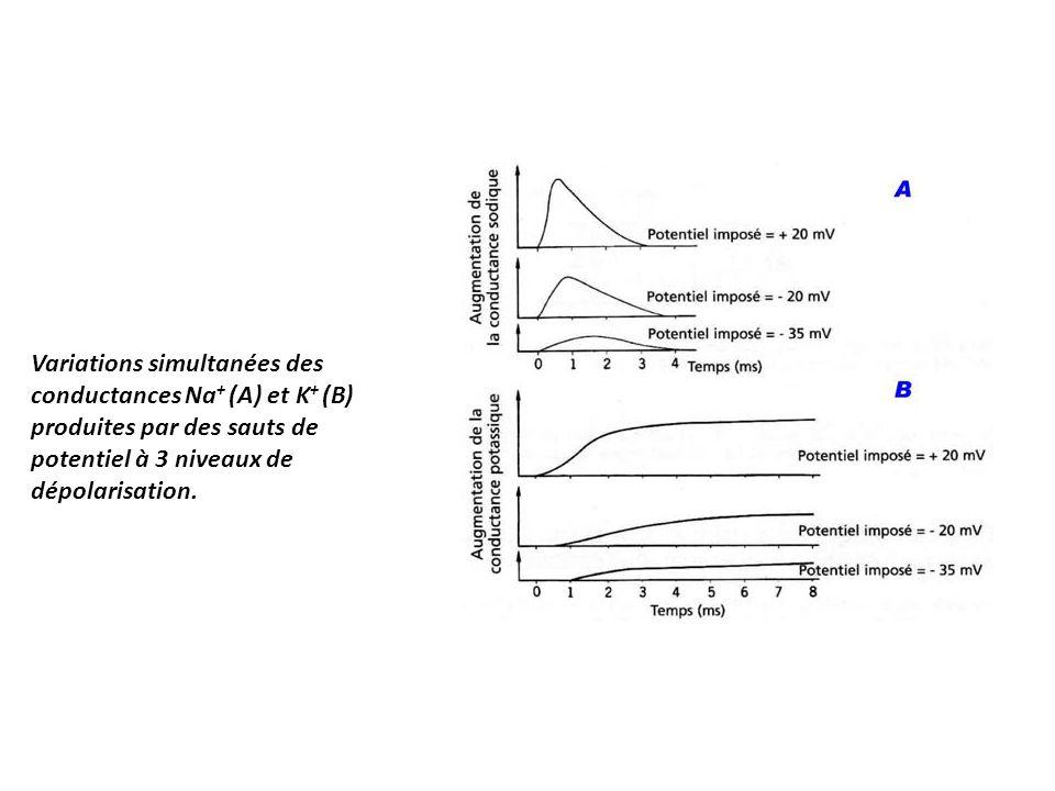 Variations simultanées des conductances Na + (A) et K + (B) produites par des sauts de potentiel à 3 niveaux de dépolarisation.