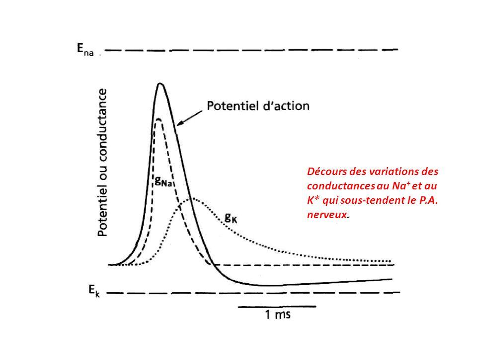 Décours des variations des conductances au Na + et au K* qui sous-tendent le P.A. nerveux.