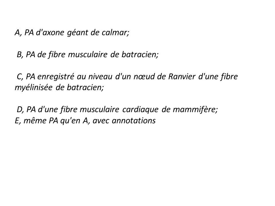 A, PA d axone géant de calmar; B, PA de fibre musculaire de batracien; C, PA enregistré au niveau d un nœud de Ranvier d une fibre myélinisée de batracien; D, PA d une fibre musculaire cardiaque de mammifère; E, même PA qu en A, avec annotations
