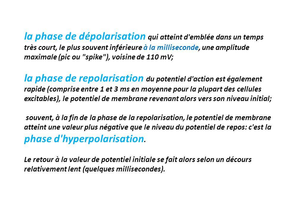 la phase de dépolarisation qui atteint d emblée dans un temps très court, le plus souvent inférieure à la milliseconde, une amplitude maximale (pic ou spike ), voisine de 110 mV; la phase de repolarisation du potentiel d action est également rapide (comprise entre 1 et 3 ms en moyenne pour la plupart des cellules excitables), le potentiel de membrane revenant alors vers son niveau initial; souvent, à la fin de la phase de la repolarisation, le potentiel de membrane atteint une valeur plus négative que le niveau du potentiel de repos: c est la phase d hyperpolarisation.