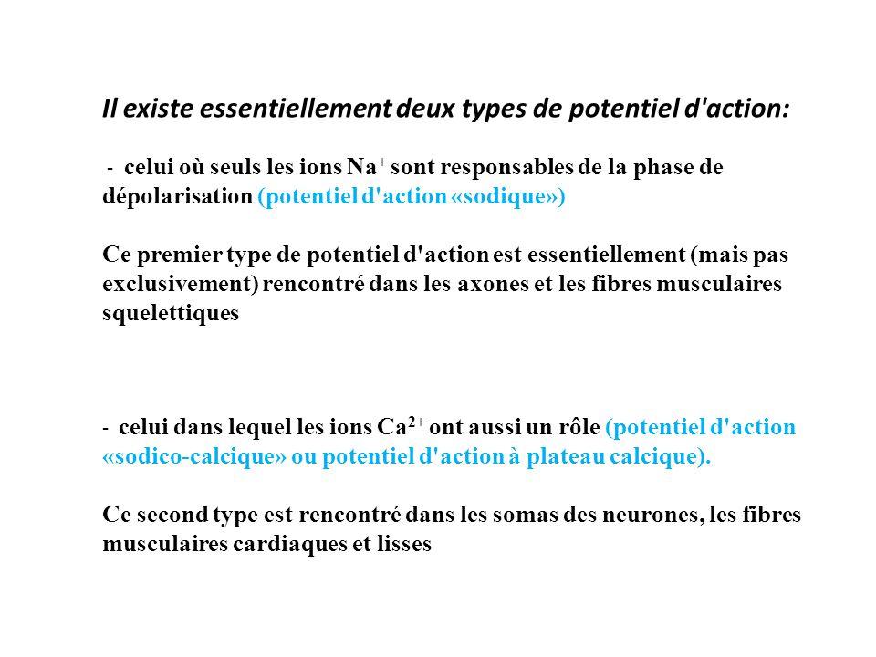 Il existe essentiellement deux types de potentiel d action: - celui où seuls les ions Na + sont responsables de la phase de dépolarisation (potentiel d action «sodique») Ce premier type de potentiel d action est essentiellement (mais pas exclusivement) rencontré dans les axones et les fibres musculaires squelettiques - celui dans lequel les ions Ca 2+ ont aussi un rôle (potentiel d action «sodico-calcique» ou potentiel d action à plateau calcique).